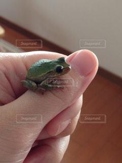 手乗りカエルの写真・画像素材[1051772]