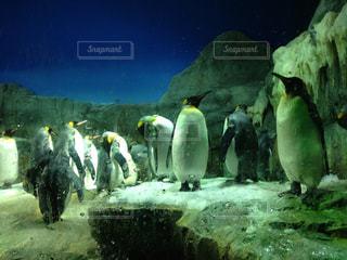 雪の中のペンギンの写真・画像素材[1051776]
