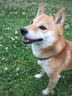 草 柴犬の写真・画像素材[1057128]