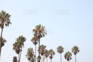 ヤシの木の写真・画像素材[1050721]