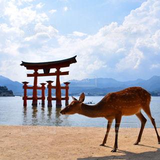 厳島神社と鹿の写真・画像素材[1050811]