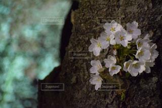 桜のアップの写真・画像素材[1139670]