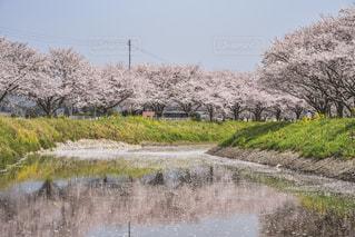 水面に浮かぶ桜並木の写真・画像素材[1099484]