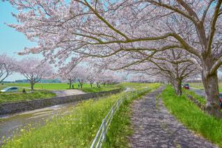 桜と菜の花の道の写真・画像素材[1099487]