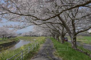 桜と菜の花が続く道の写真・画像素材[1099488]