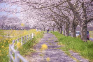 幻想的な桜並木道の写真・画像素材[1102187]