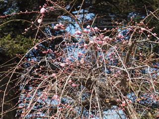 枝垂れ梅の写真・画像素材[1050979]