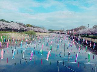 鯉のぼりと桜並木の写真・画像素材[1051190]