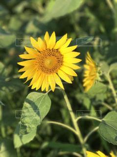 緑の葉と黄色の花の写真・画像素材[1051734]