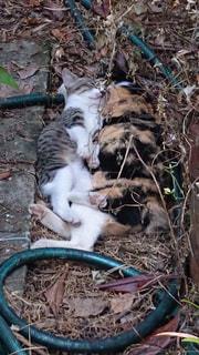 野良猫親子のお昼寝。の写真・画像素材[1056909]