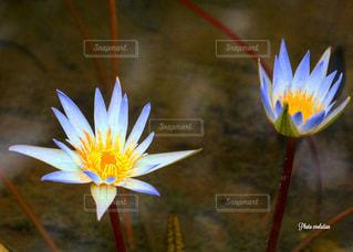 睡蓮の写真・画像素材[1051456]