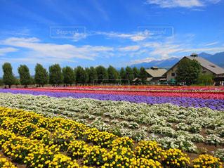 富良野の花畑の写真・画像素材[1130540]
