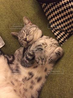 ソファで横になっている猫の写真・画像素材[1051749]