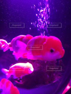 幻想的な金魚の写真・画像素材[1052042]