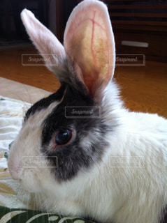 ウサギさんの写真・画像素材[1052048]
