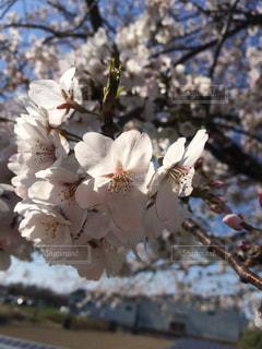 春爛漫の写真・画像素材[1053721]