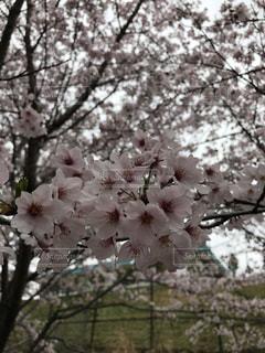 桜の写真・画像素材[1052360]