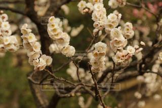 梅の花の写真・画像素材[1053423]