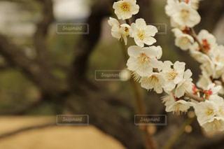 2018 3月 梅の花 旧芝離宮恩賜庭園にて。の写真・画像素材[1053955]
