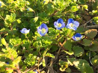 緑の葉と青色の花の写真・画像素材[1052874]