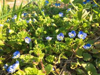 緑の葉と青色の花の写真・画像素材[1052877]