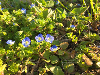 緑の葉と青色の花の写真・画像素材[1052882]