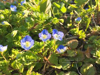 緑の葉と青色の花の写真・画像素材[1052883]