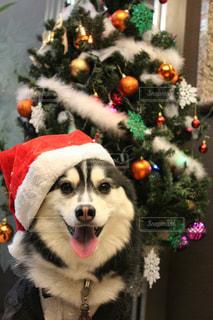クリスマスドッグの写真・画像素材[1052768]