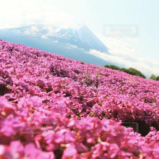 富士芝桜の写真・画像素材[1052796]