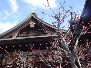 北野天満宮の梅の写真・画像素材[1074125]