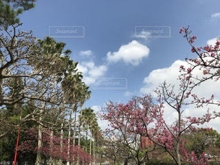 南の桜🌸緋寒桜🌸フェニックス🏝の写真・画像素材[1053698]