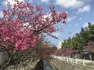 緋寒桜🌸並木道🌸の写真・画像素材[1053699]