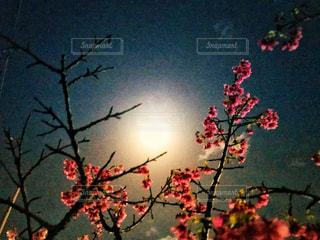 沖縄の夜桜🌸の写真・画像素材[1056584]