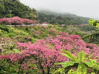 沖縄🌸森林の中の緋寒桜🌸の写真・画像素材[1058659]