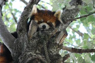 枝の上に眠るレッサーパンダの写真・画像素材[1053432]