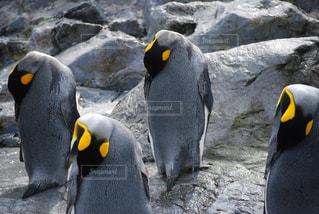 岩に立っているペンギンの写真・画像素材[1053570]