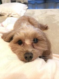 ベッドの上で横になっている茶色と白犬の写真・画像素材[1053545]