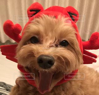 赤い帽子をかぶった犬の写真・画像素材[1054236]