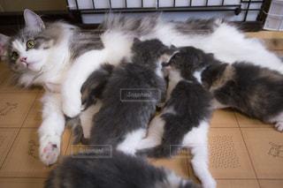 猫の親子の写真・画像素材[1061764]