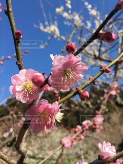梅の花 - No.1062374