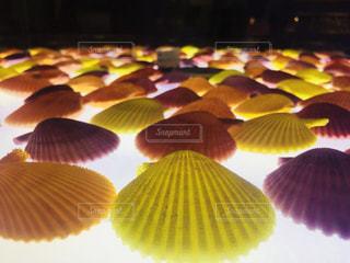 貝殻の写真・画像素材[1055234]