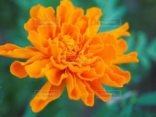 花の写真・画像素材[1055005]