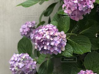 紫陽花の写真・画像素材[1254081]
