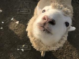 羊さん - No.1054496