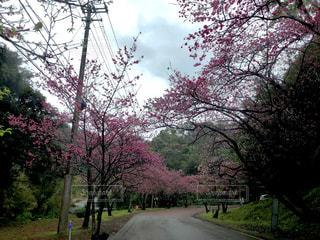 沖縄県 桜の写真・画像素材[1054957]