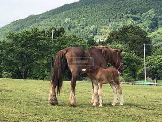 フィールドで放牧茶色のお馬の親子の写真・画像素材[1169646]