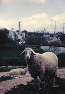汚れフィールド上に立っている羊の群れ - No.1055483