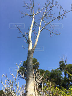バオバブの木の写真・画像素材[1055199]