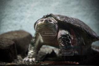 こちらを見るカミツキガメの写真・画像素材[1058529]