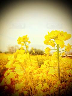 菜の花。の写真・画像素材[1089081]